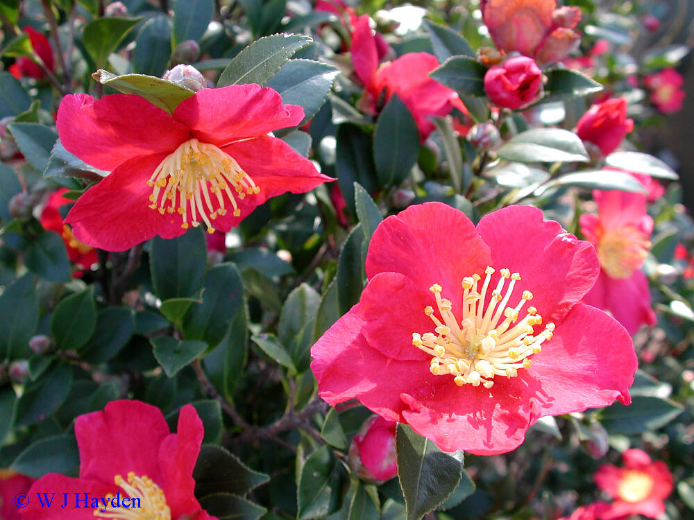 Early fall woody plants for Camellia sasanqua