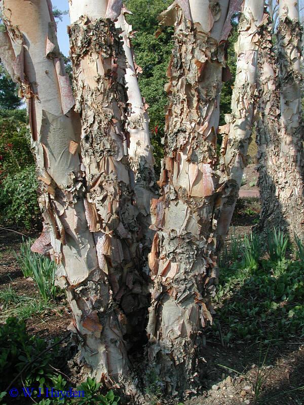 Betula nigra photo