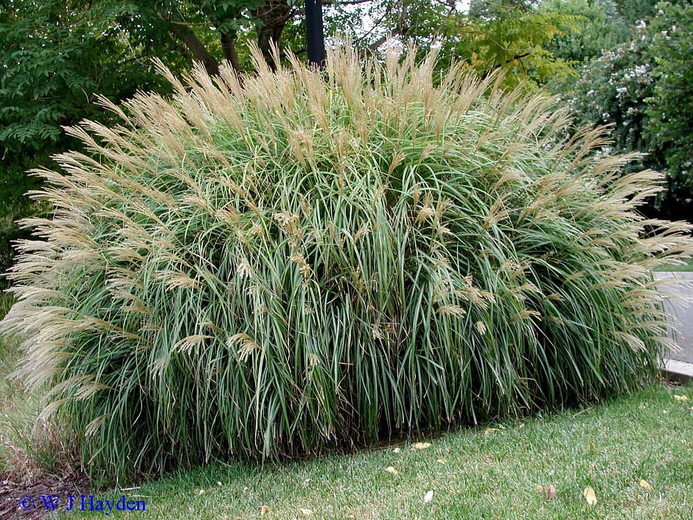 ornamental grasses. Black Bedroom Furniture Sets. Home Design Ideas