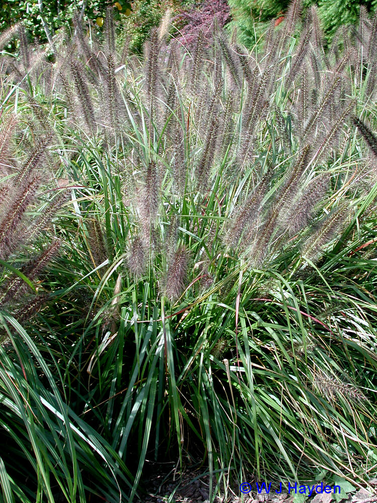 Molinia caerula 39 cordoba 39 plants to try pinterest for Ornamental grasses for planters