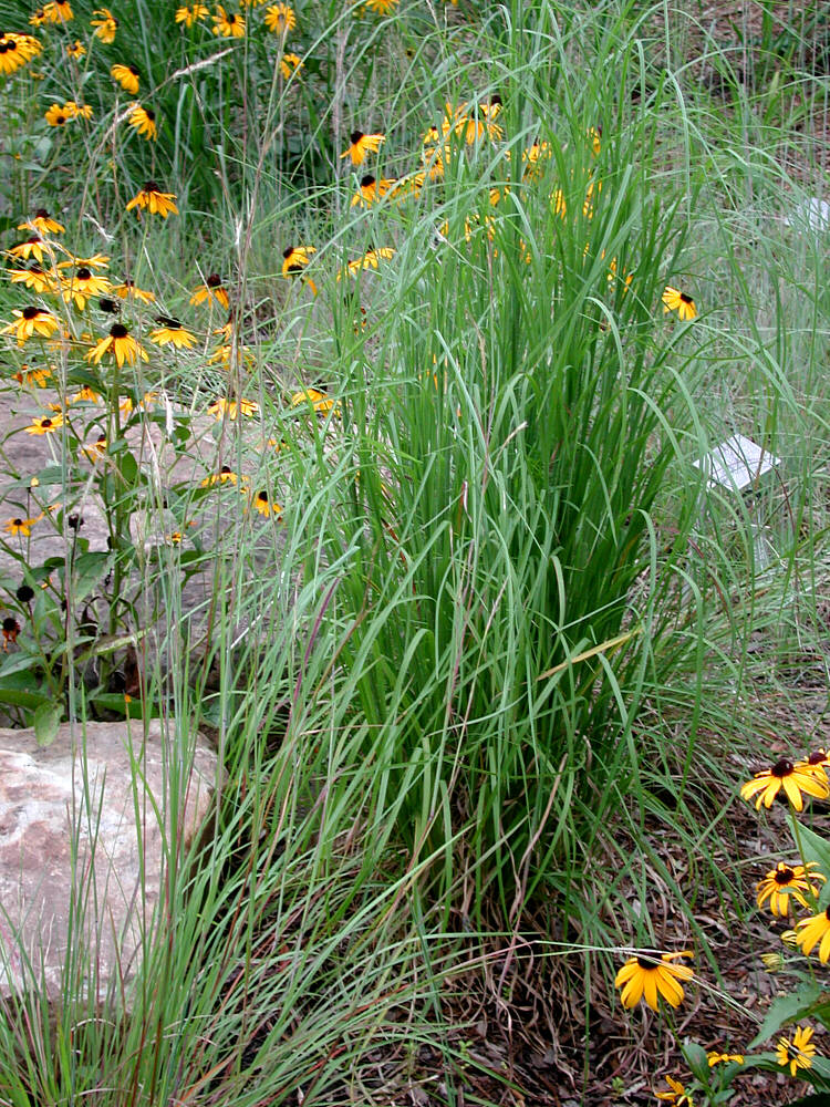 Ornamental grasses for Ornamental grass with yellow flowers