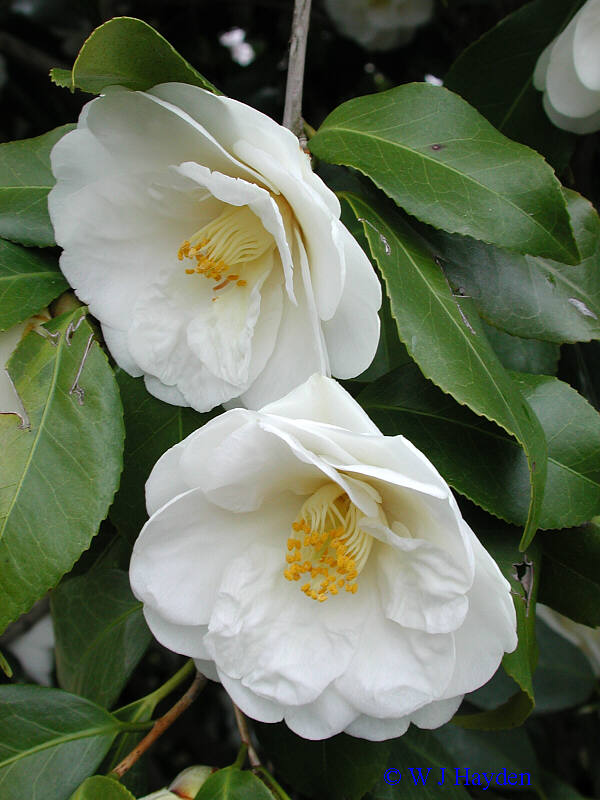 Untitled document camellia japonica ur03s white flowers mightylinksfo
