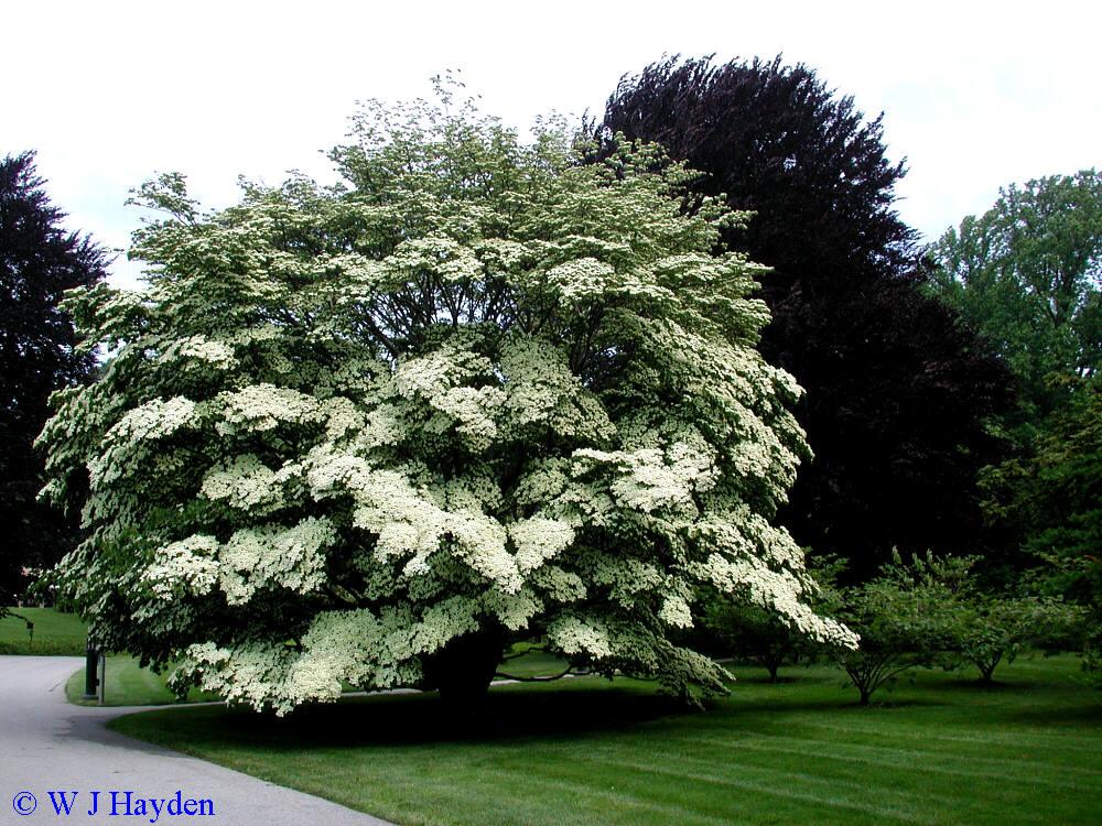 cornus kousa 39 dogwood 39 tree a green thumb pinterest. Black Bedroom Furniture Sets. Home Design Ideas
