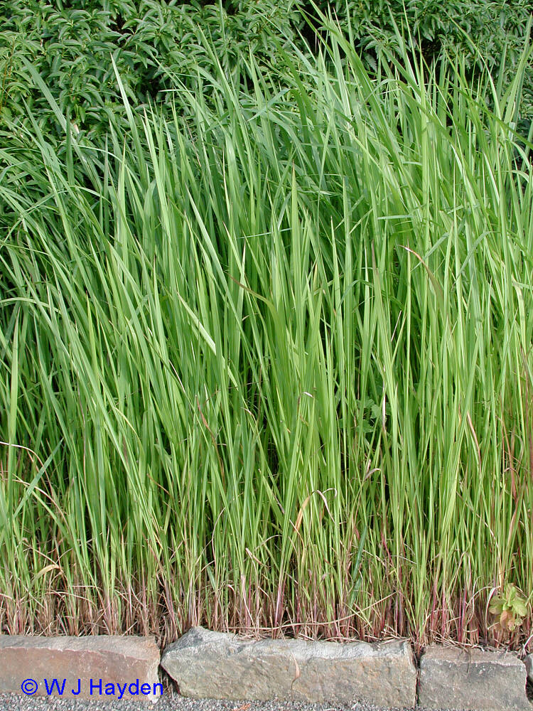 Ornamental grasses - Imperata cylindrica red baron ...